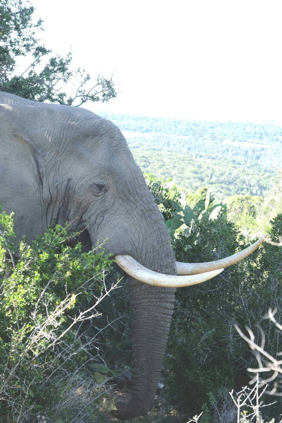 Elefant in der Kariega Private Game Reserve
