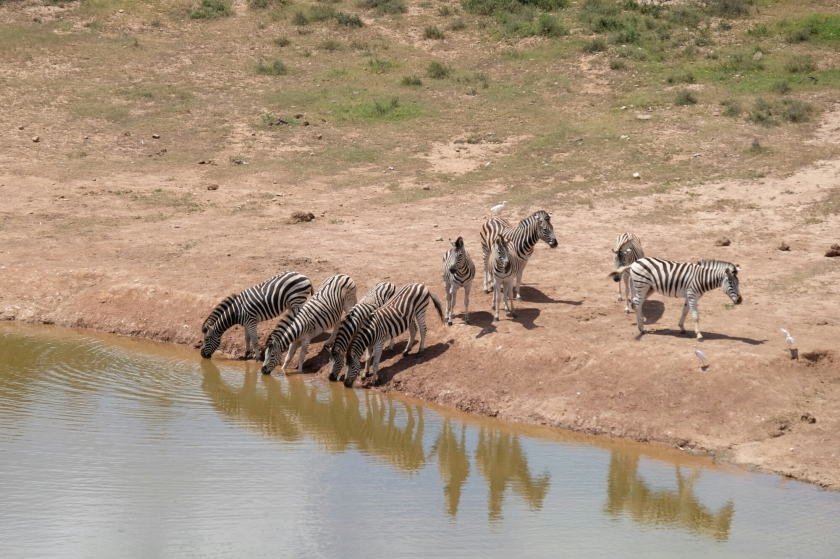 Zebras im Addo Elephant National Park