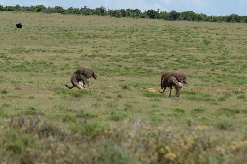 Strausse im Addo Elephant National Park
