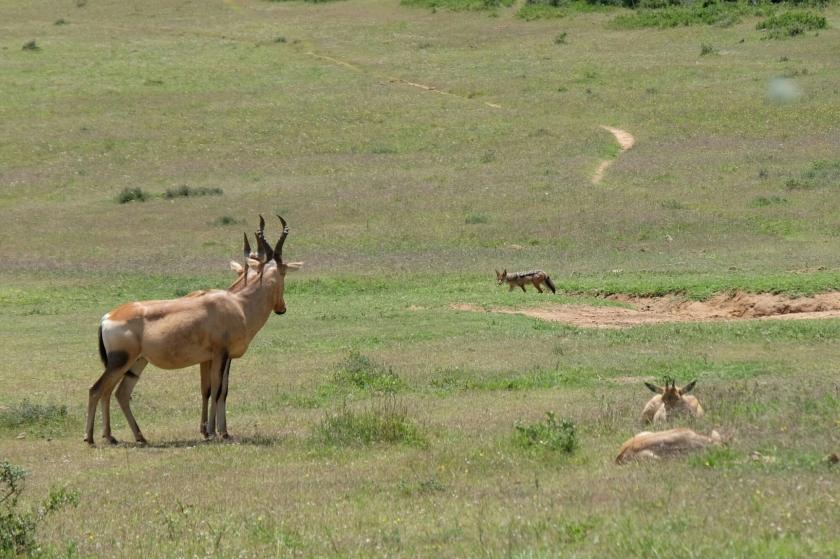 Kuhantilopen und Schakal im Addo Elephant National Park