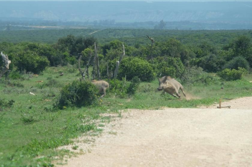Wildschweine im Addo Elephant National Park