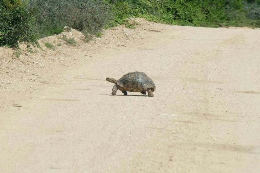 Leoparden-Schildkröte im Addo Elephant National Park