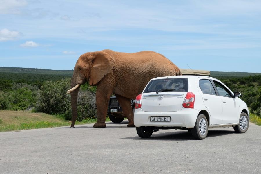 Elefant im Addo Elephant National Park