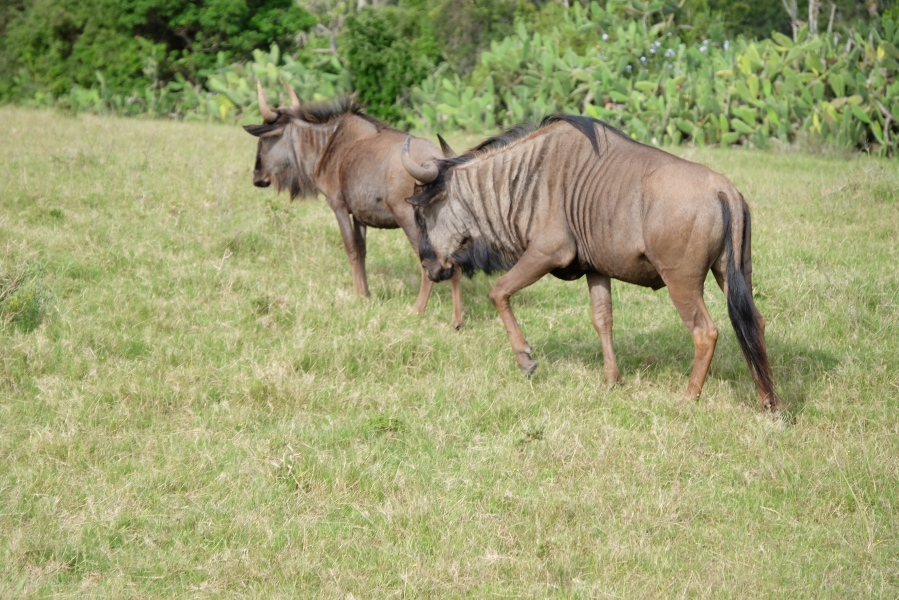 Streifen-Gnus in der Kariega Private Game Reserve