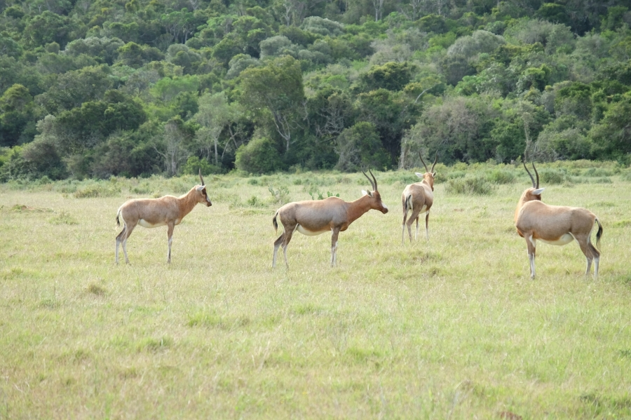 Schwarzfersenantilopen (Impalas) in der Kariega Private Game Reserve