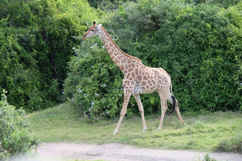 Giraffe in der Kariega Private Game Reserve