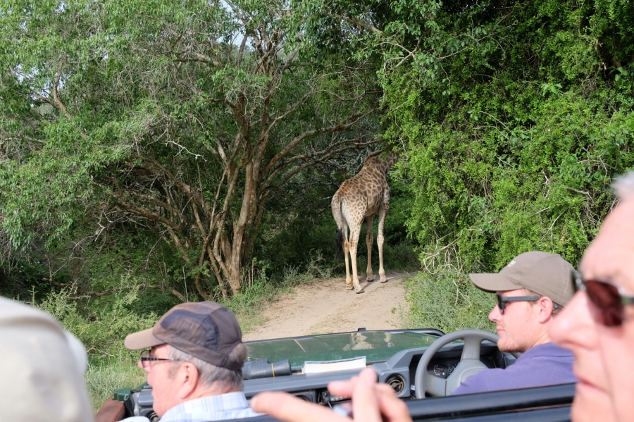 Giraffe in der Kariega Private Game Reserve