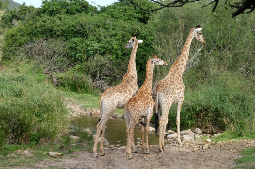 Giraffen in der Kariega Private Game Reserve