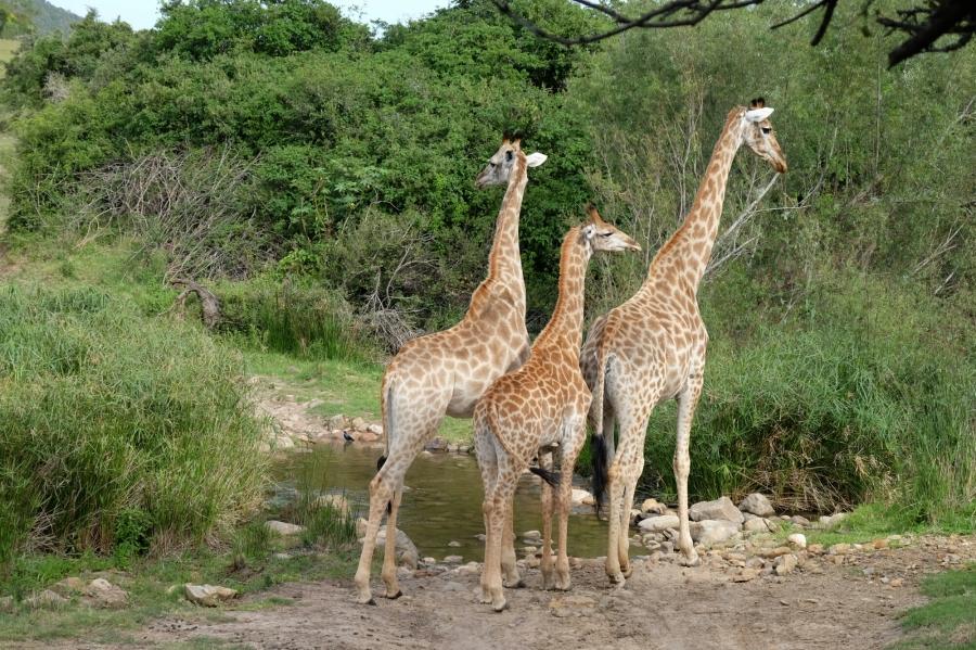 Giraffen in der Kariega Private Game Reserve