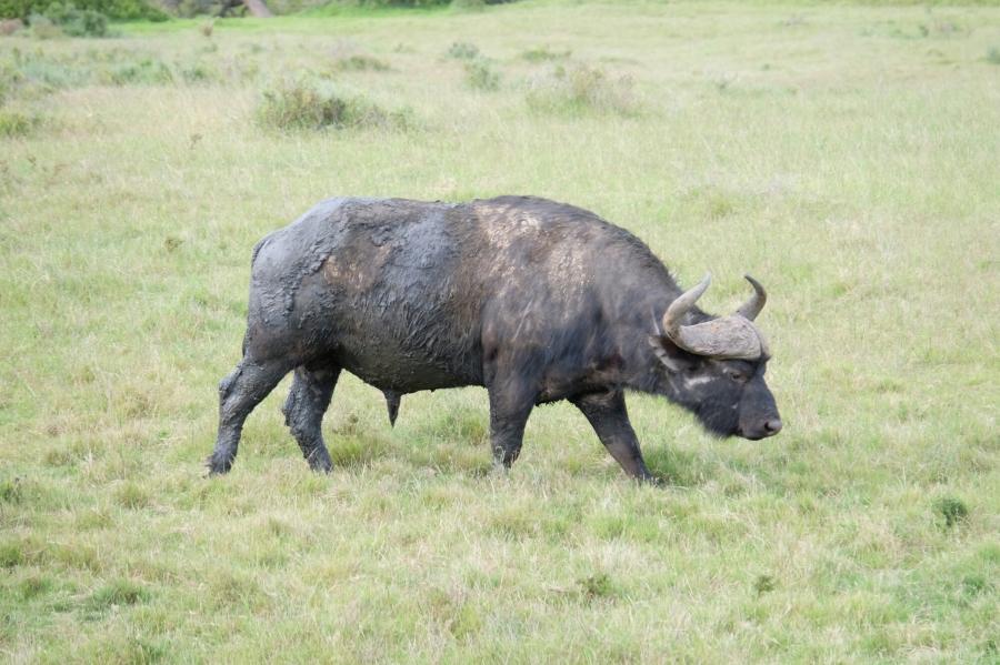 Büffel in der Kariega Private Game Reserve