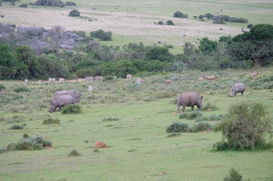 Breitmaulnashörner in der Kariega Private Game Reserve