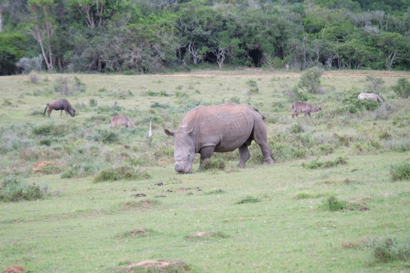 Breitmaulnashorn in der Kariega Private Game Reserve