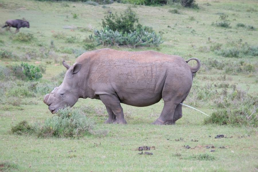 Breitmaulnashorn in der Kariega Private Game Reserve