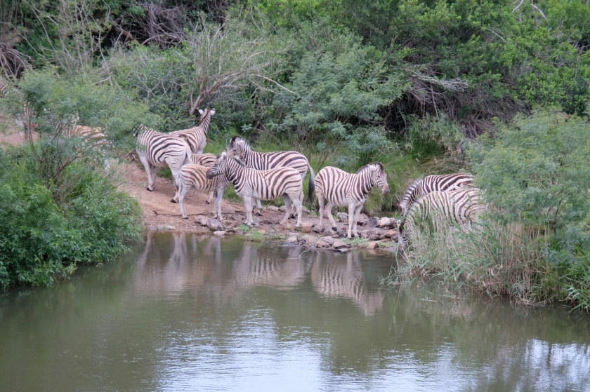 Zebras in der Kariega Private Game Reserve