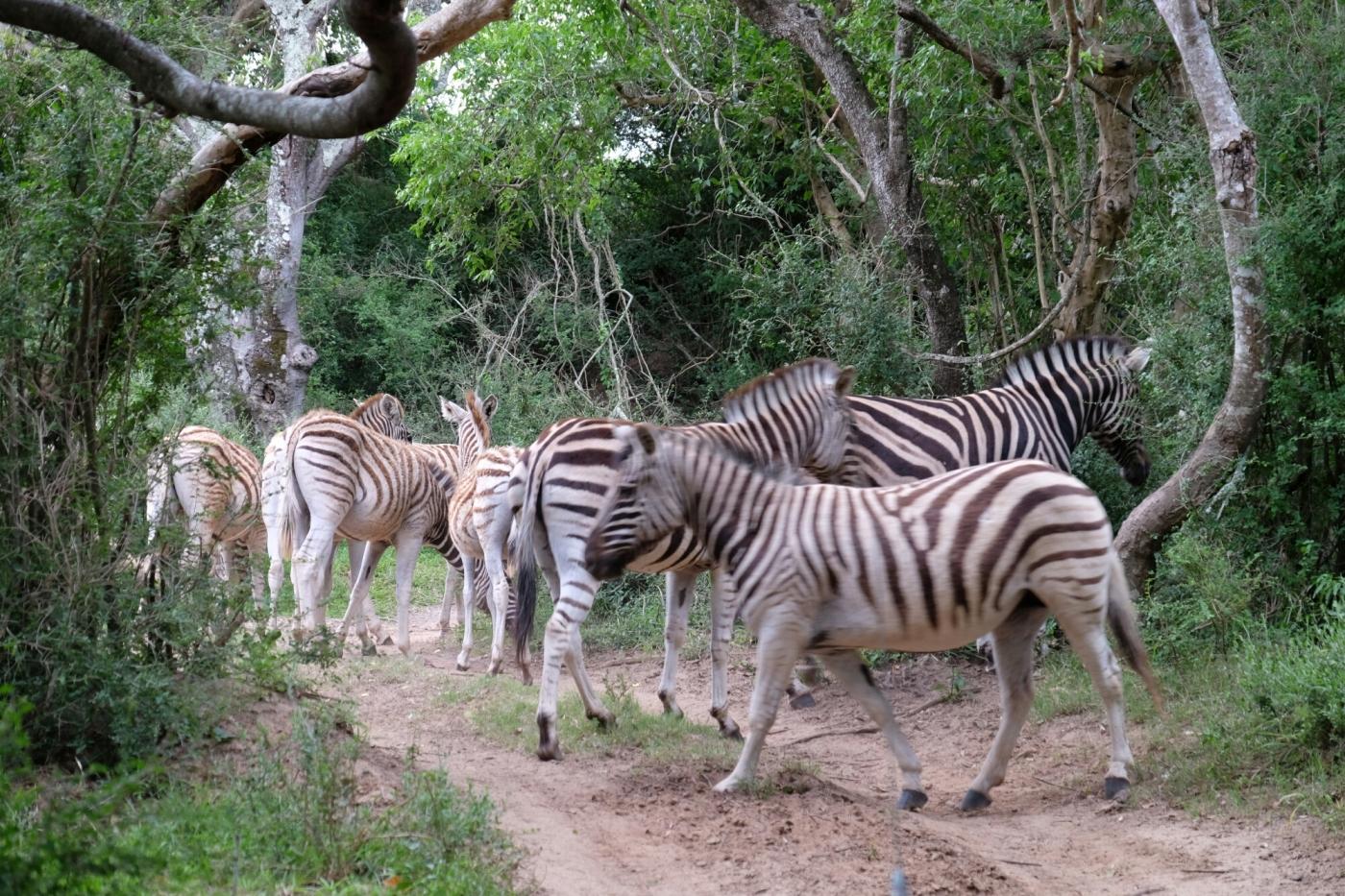 Zebras in der Kariega Private Game Reserve