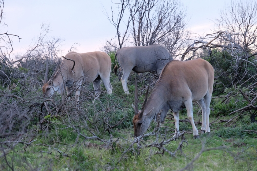Elands in der Kariega Private Game Reserve