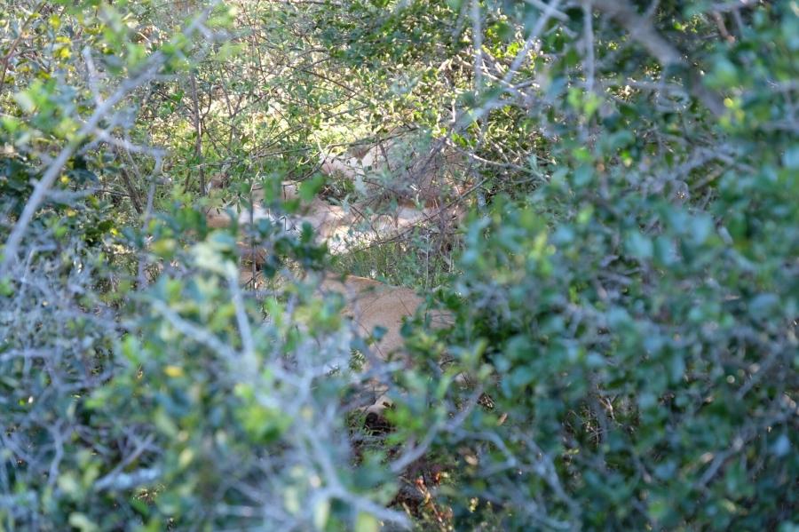 Versteckte Löwen in der Kariega Private Game Reserve