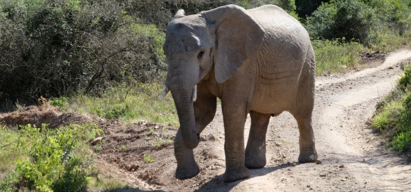 Elefant in der Kariega Private Game Reserve