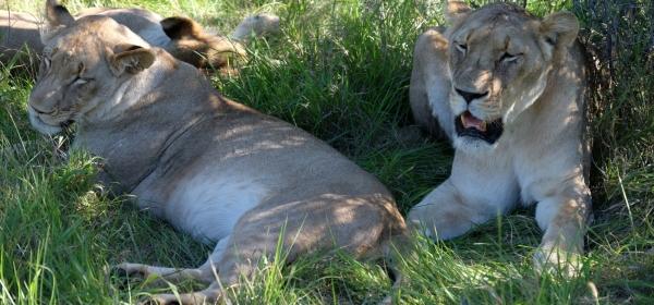 Löwen in der Kariega Private Game Reserve