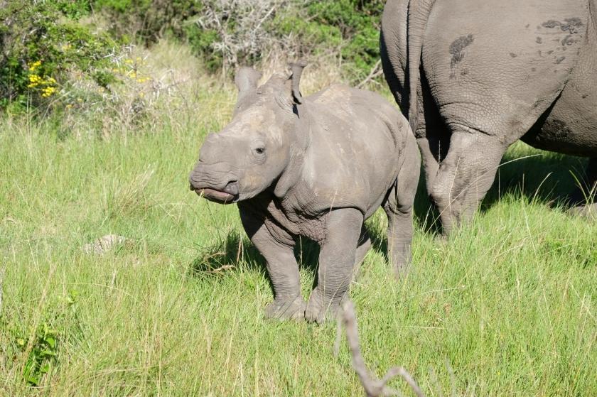 Breitmaulnashornbaby in der Kariega Private Game Reserve