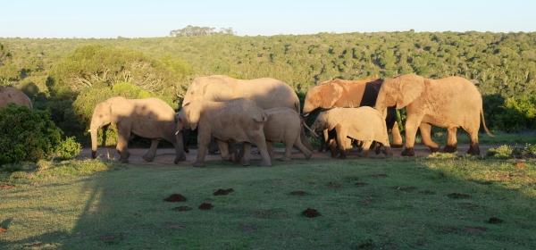 Elefanten in der Kariega Private Game Reserve