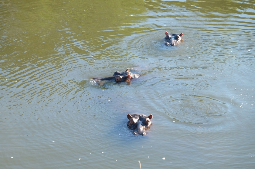 Hippos (Flusspferde) im Kariega River