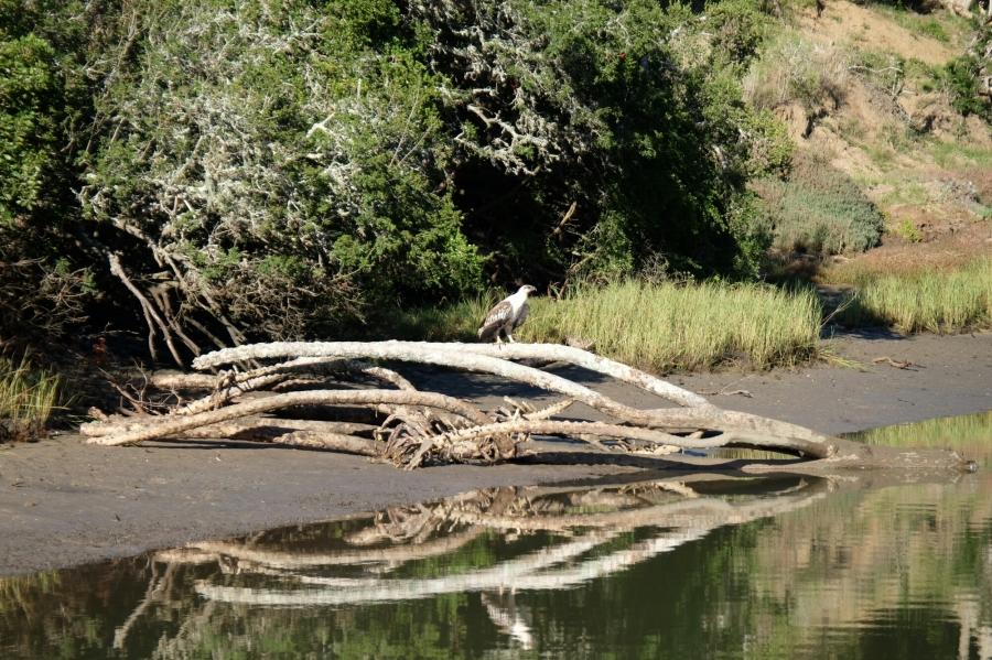 Raubvogel am Kariega River