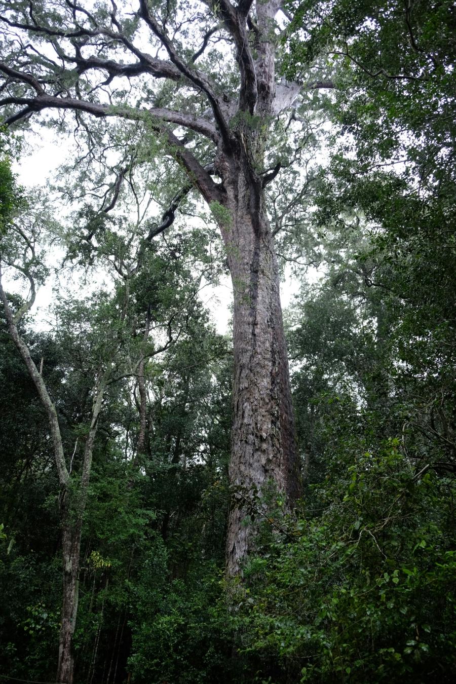 Outeniqua Yellowwood (Nationalbaum Südafrikas)