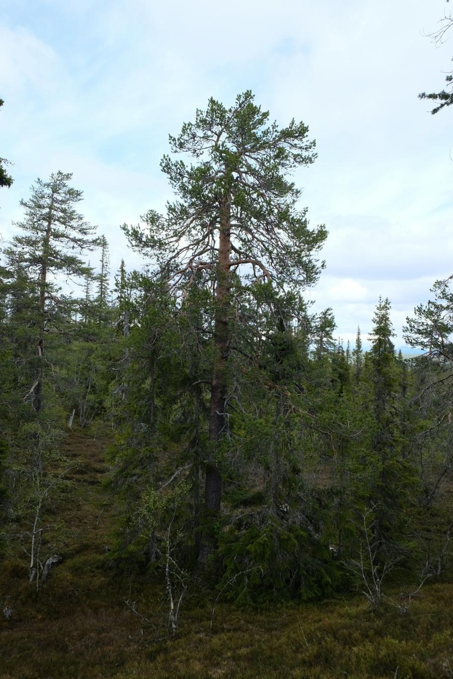 Föhre im Fulufjäll Nationalpark