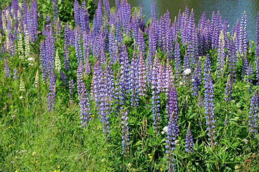 Blumen am Götakanal zwischen Töreboda und Lyrestad