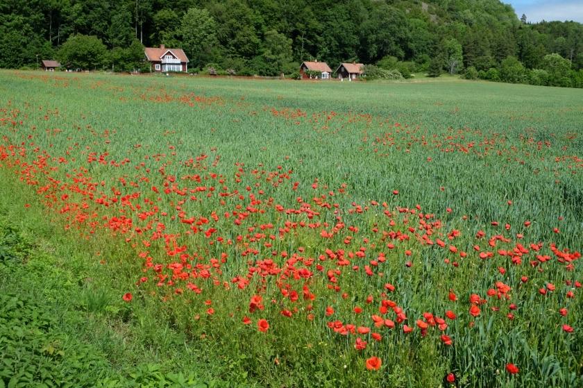 Feld bei der Alvastra Klosterruine