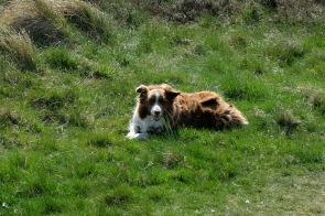 Hirtehund in der Braderuper Heide
