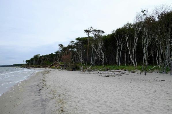 Küstenwald am Darsser Weststrand