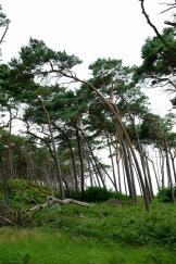 Windflüchter am Darsser Weststrand