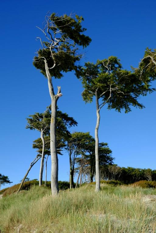 Bäume am Darsser Wesstrand (beim Mittelweg)