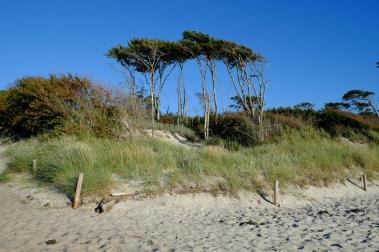 Windflüchter am Darsser Wesstrand (beim Mittelweg)