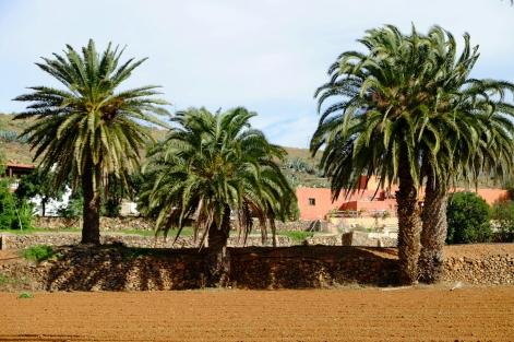 Feld mit Palmen bei Vega de Río Palmas