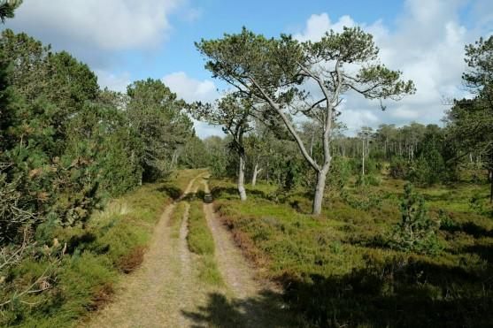 Weg durch die Kærgård Klitplantage