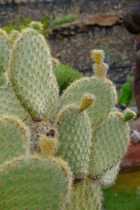 Kaktus im Jardín de Cactus