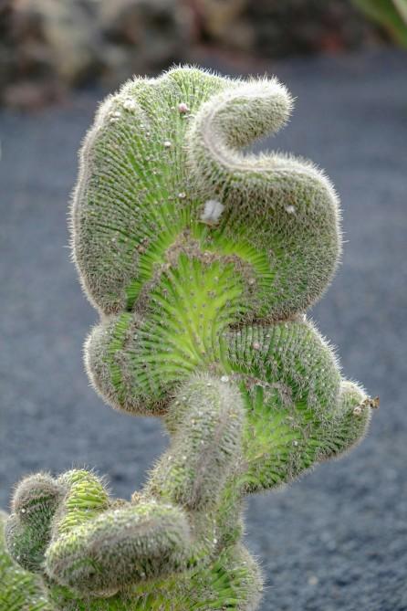 Detail eines Kaktus im Jardín de Cactus
