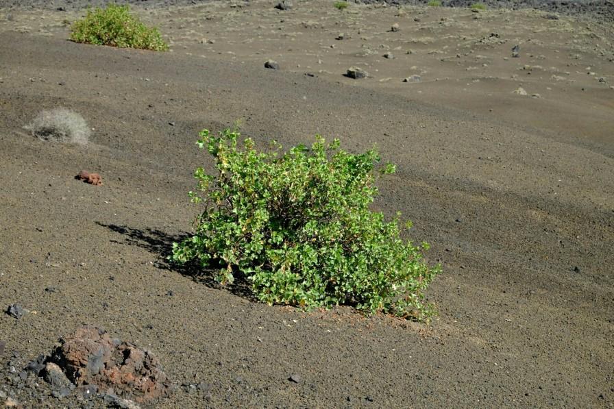 Grüne Pflanze im Aschehang der Montaña Colorada