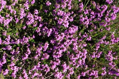 Blütenpracht am Cap d'Erquy