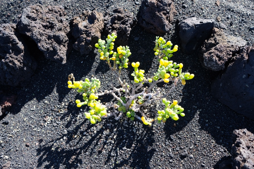 Pflanze an Küste bei Tenesar