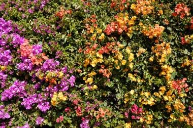 Blüten an der Promenade in Playa Blanca