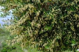 Olivenblüten im Olivengarten von Lun (Insel Pag)