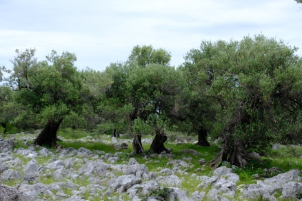 Olivenbäume in Lun (Insel Pag)
