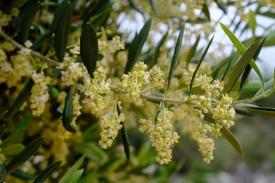 Olivenblüten (Olivengarten von Lun)