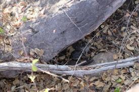 Wallaby Junges bei Ubirr (Kakadu NP)