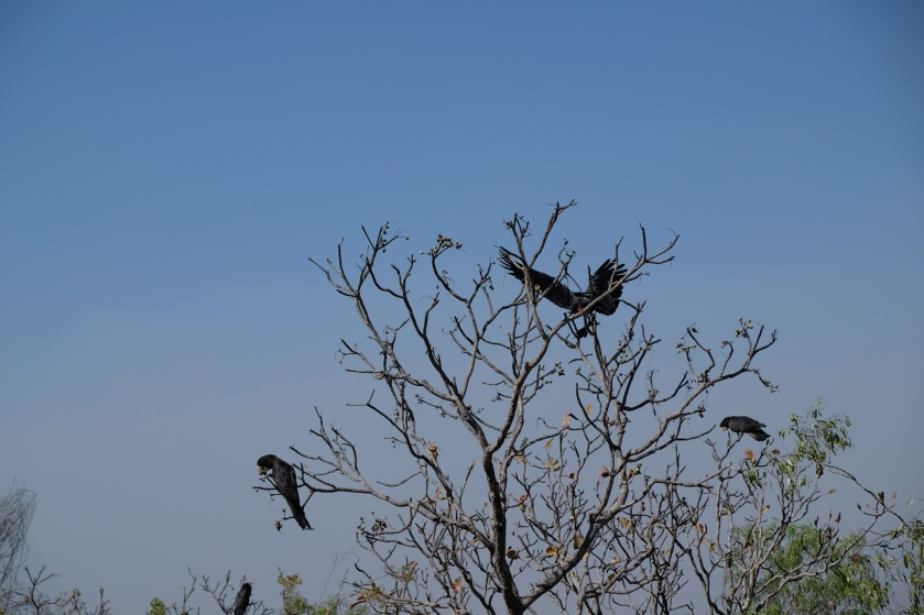 Black Cockatoos (Wangi Falls)