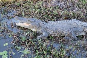 Krokodil am Yellow Water